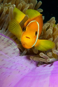 Clownfish in a purple anemone showing his best side! by Barbara Schilling 